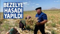 Karaman'da ilk defa ekilen bezelyenin hasadı yapıldı