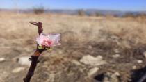 Karaman'da badem ağacı Aralık ayında çiçek açtı