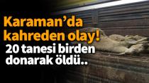 Karaman'da acı olay! 20 tanesi donarak öldü